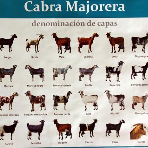 Cabras-majoreras_