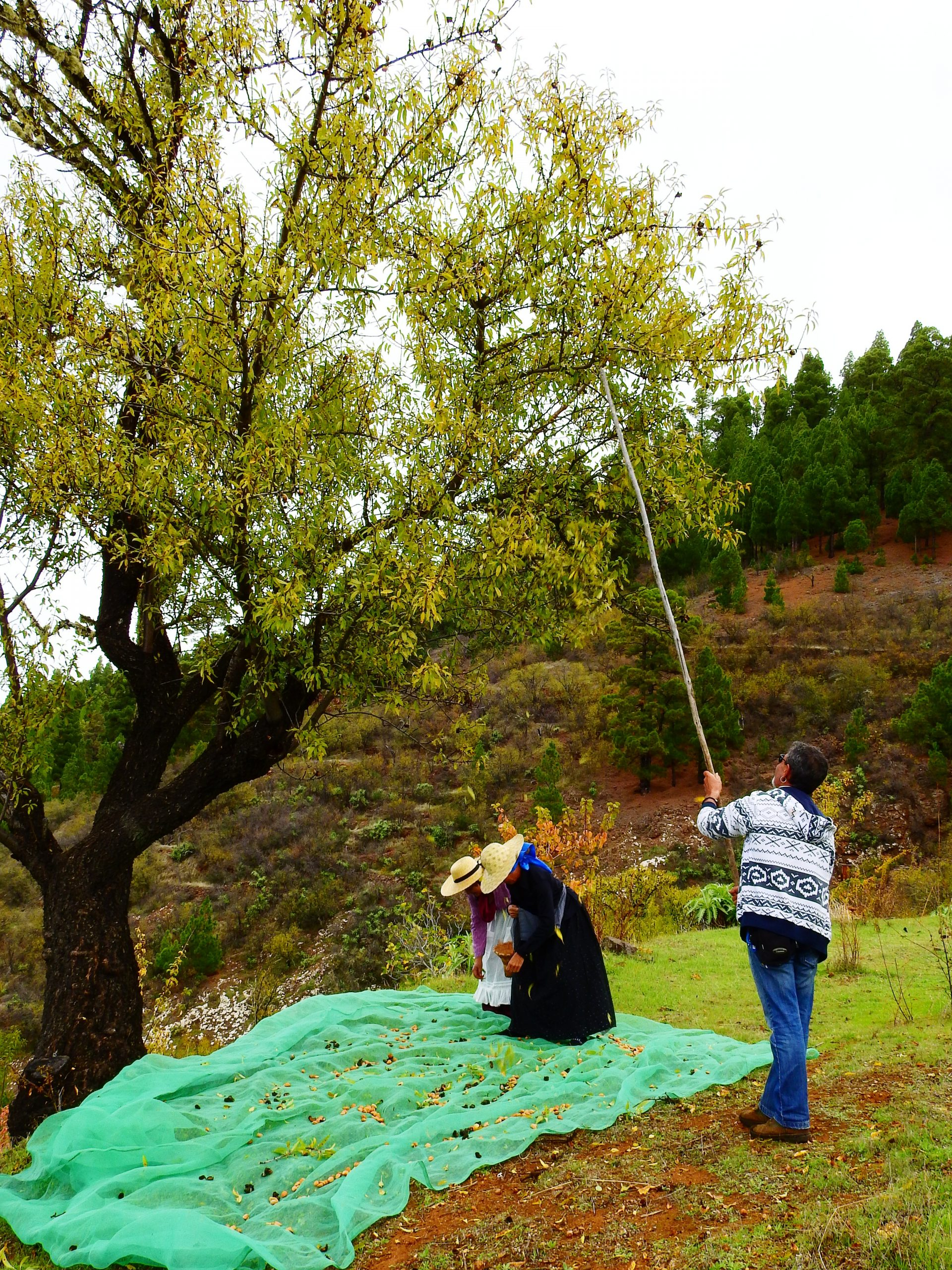 Foto nº6. Vareado con palo y tendal para la recolección de la almendra. © Jaime Hernández Jiménez.
