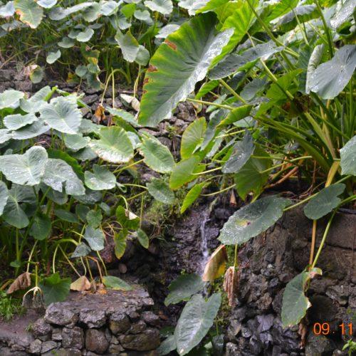 Foto nº2. Los bancales fabricados aguas debajo de los nacientes facilitan el drenaje del suelo en los que se plantas las ñameras. © Lidia E. Romero Martín.