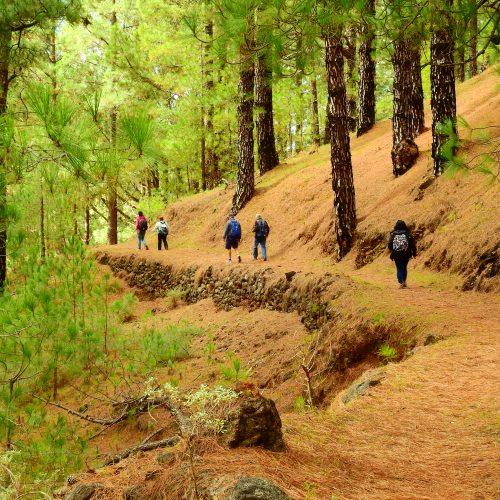 Foto nº1. Camino de la Traviesa. El primer tramo discurre entre imponentes ejemplares de pinos canarios. © Jaime Hernández Jiménez.