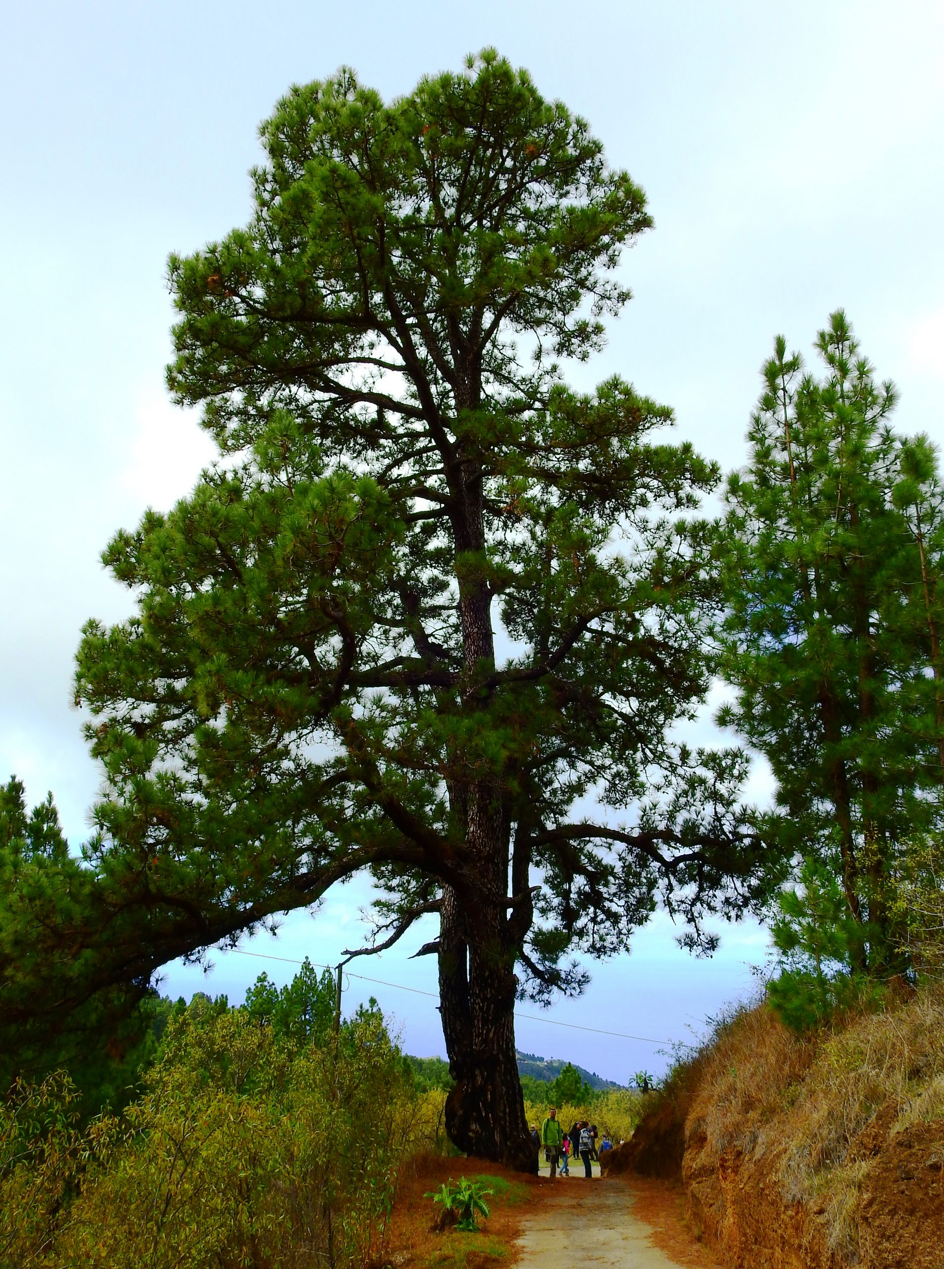 Foto nº3. Ejemplar de Pinus canariensis, situado en la orilla del camino, conocido como el Pino de La Espera. © Jaime Hernández Jiménez.