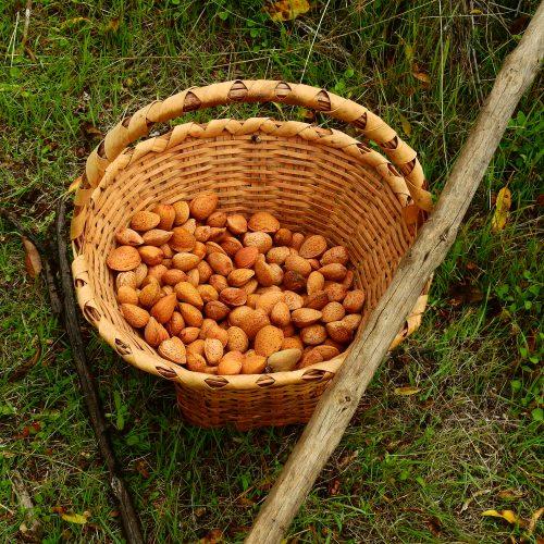 Foto nº4. Las cáscaras de almendras se empleaban para teñir la seda de color beige. © Jaime Hernández Jiménez.