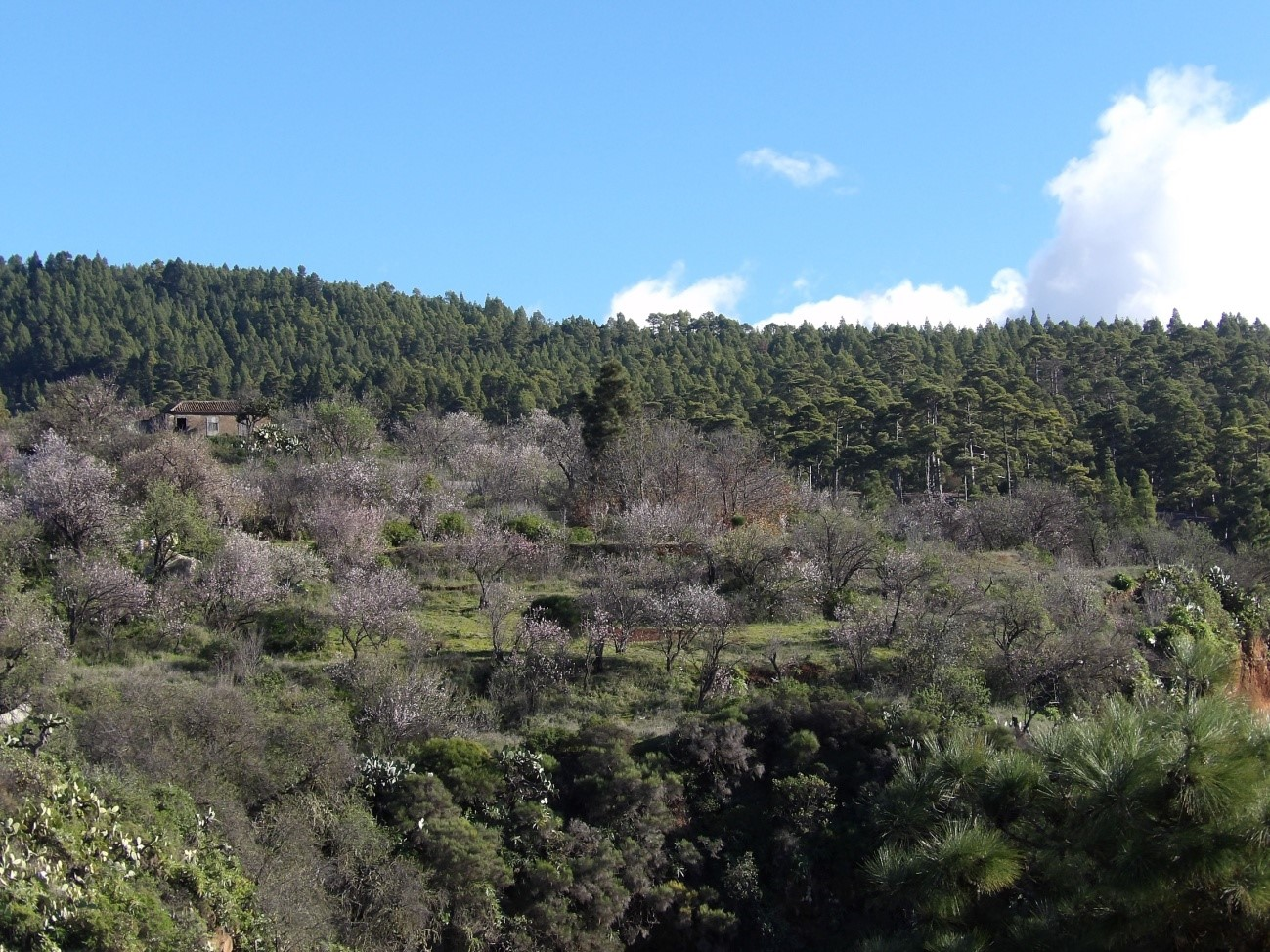 Foto nº7. Bancales con almendros en flor, paisajes de gran atractivo turístico