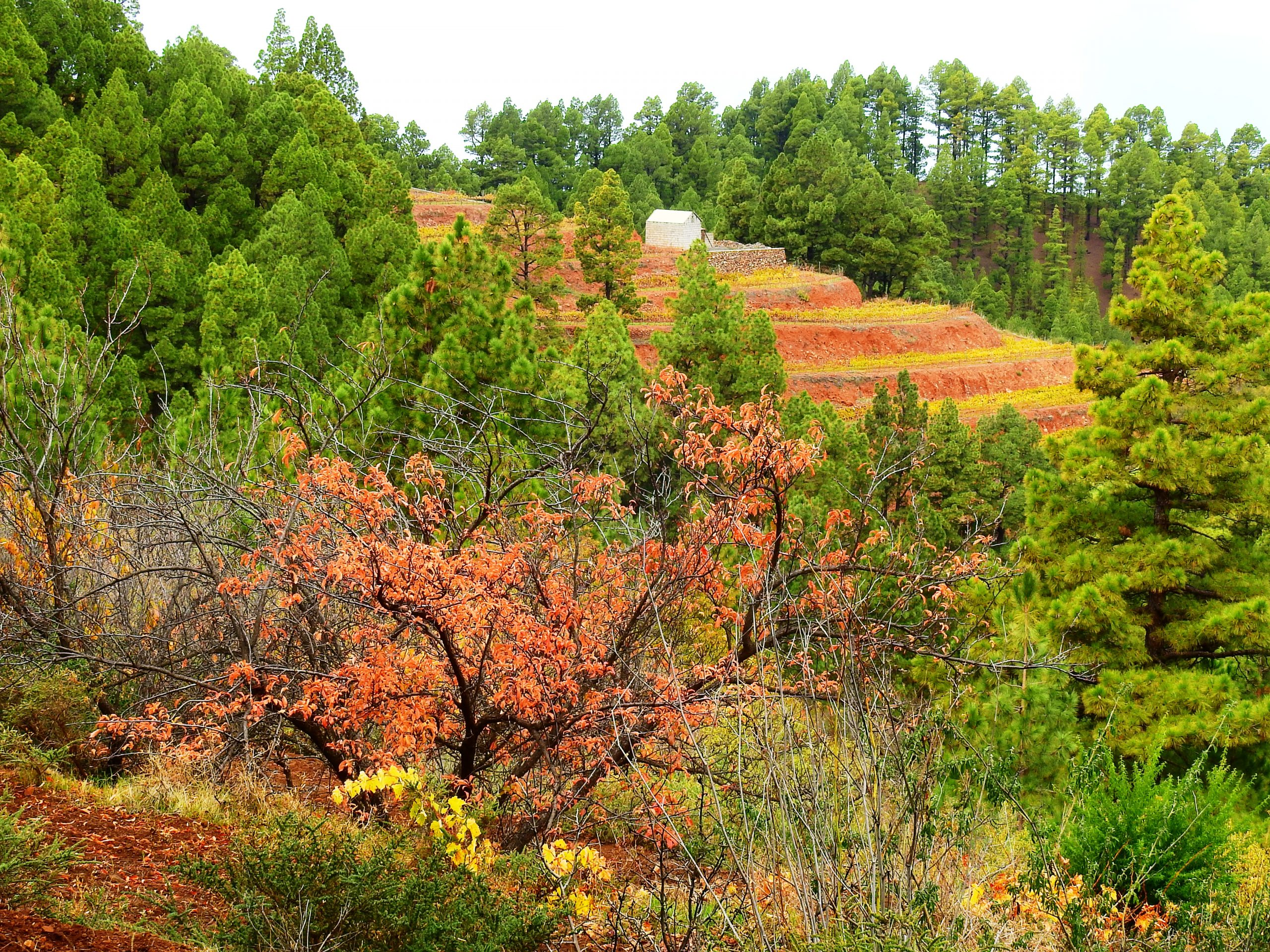 Foto nº8. Bancales con viñedos actuaron de cortafuegos en el incendio de agosto de 2020 protegiendo la masa forestal. © Jaime Hernández Jiménez.