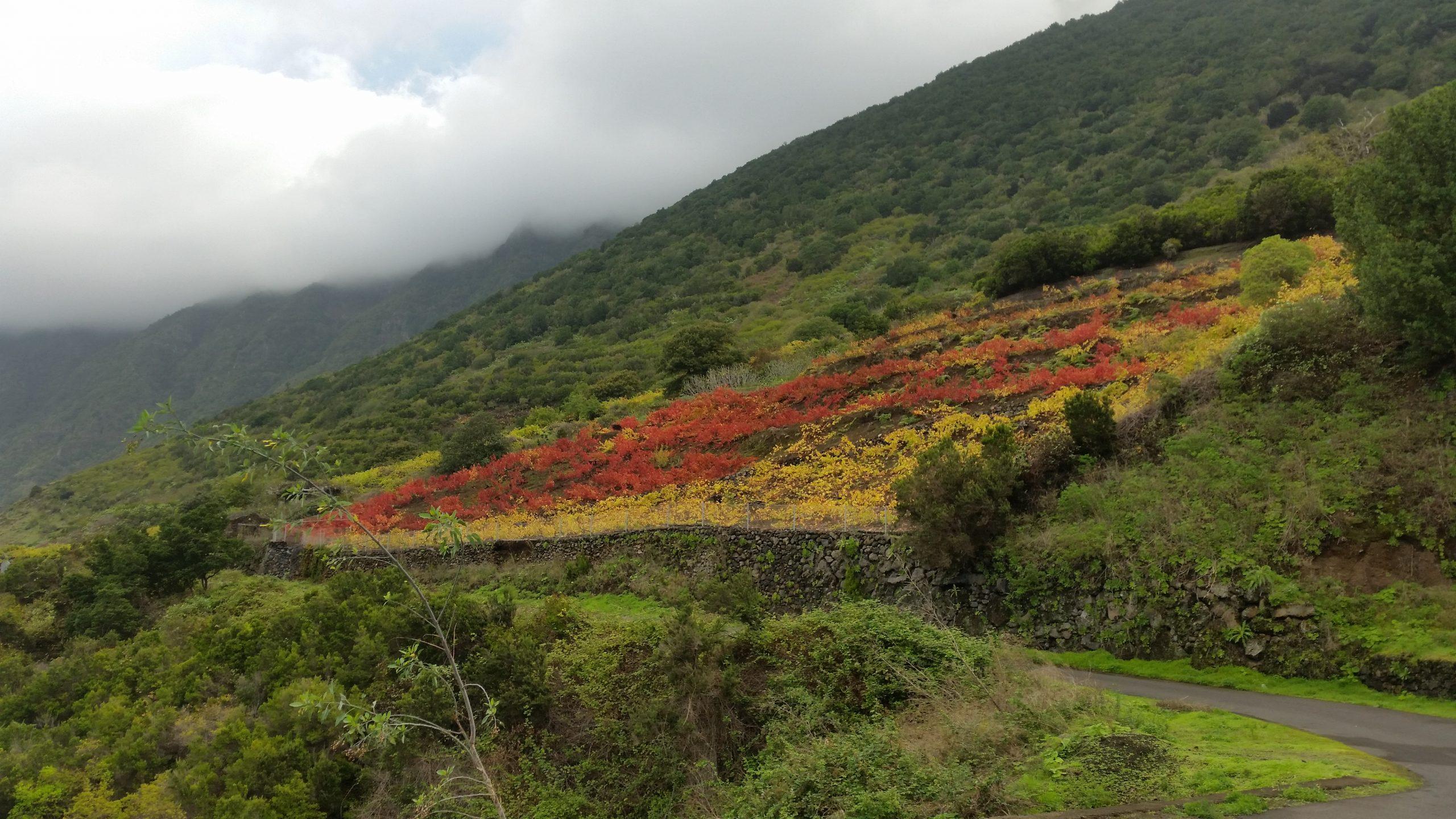 Foto nº3. La uva baboso destacan por el colorido rojizo de sus hojas (pámpanos)