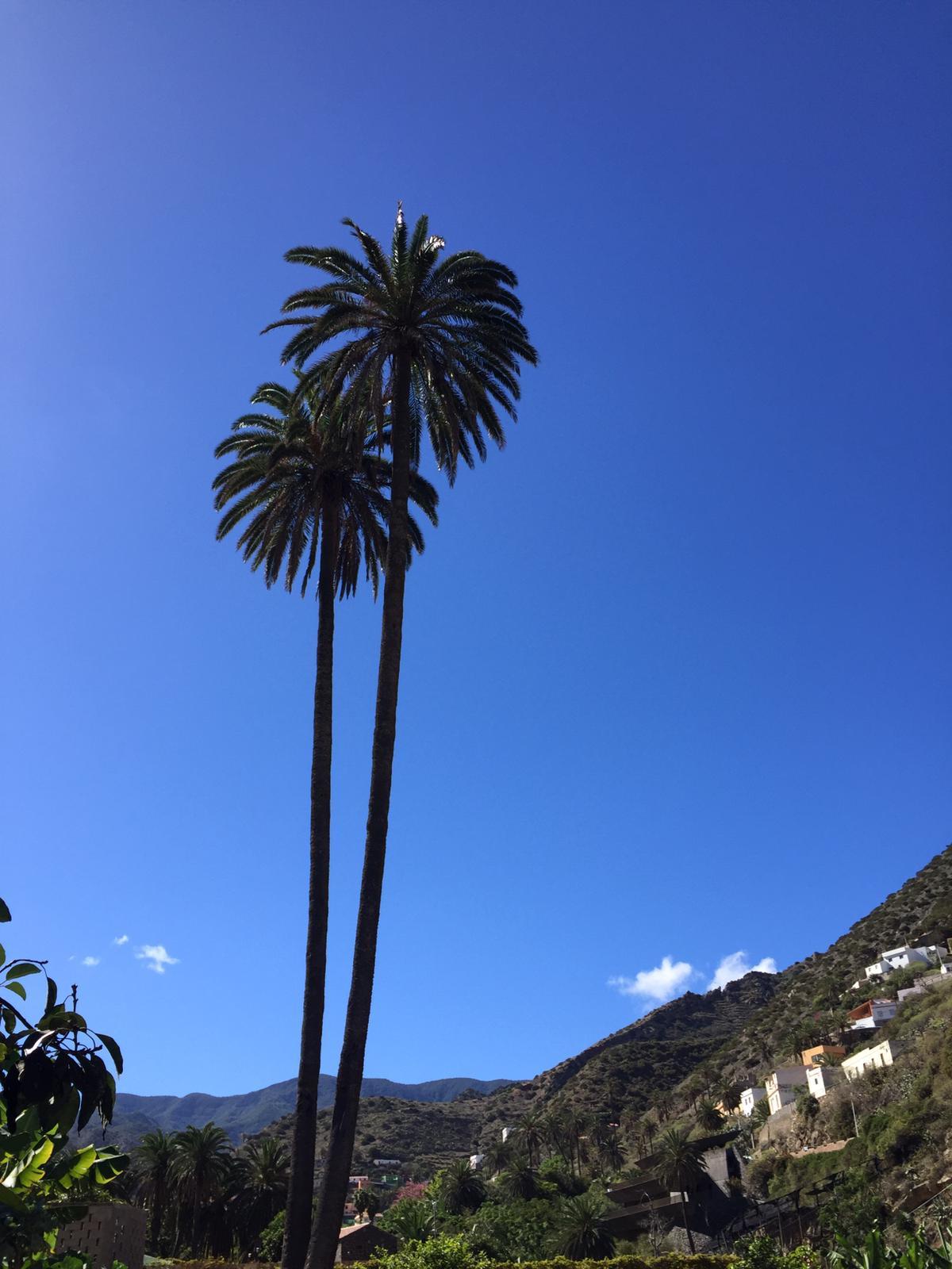 Figura 8 Ejemplares de palmeras imponentes en el Barranco del Risquillo (Vallehermoso)